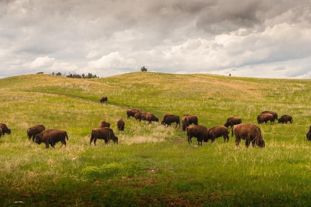 Wildife in Custer State Park
