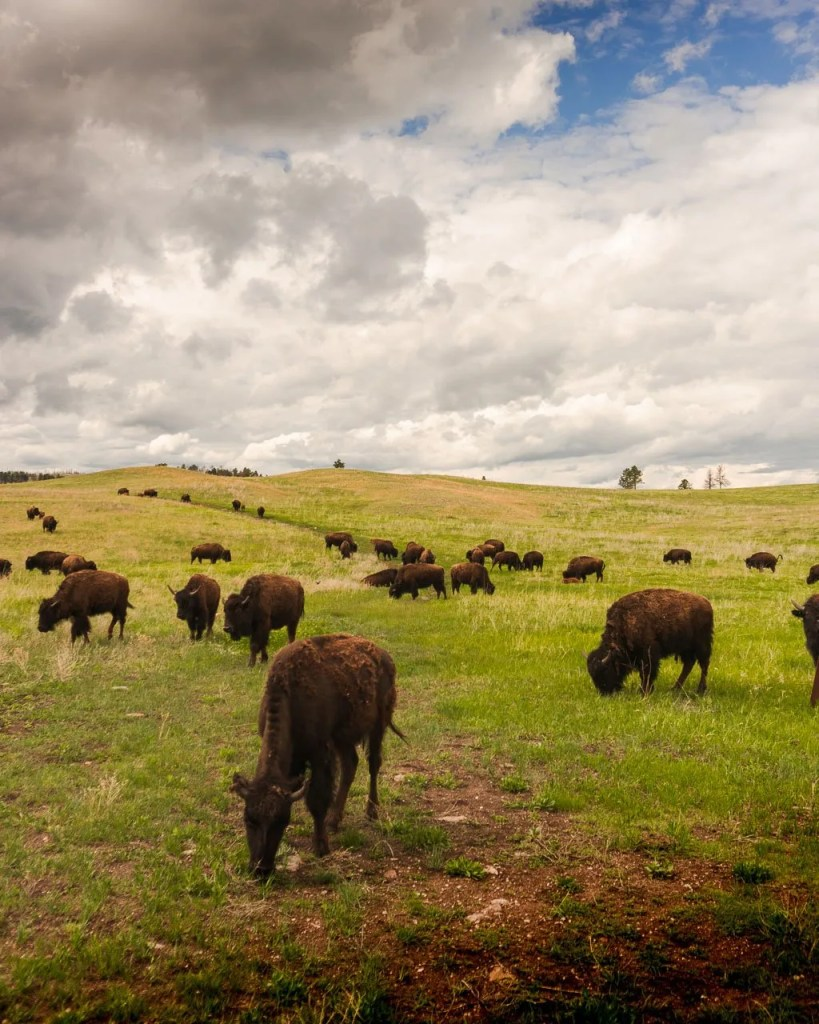 Wildlife loop in Custer State Park