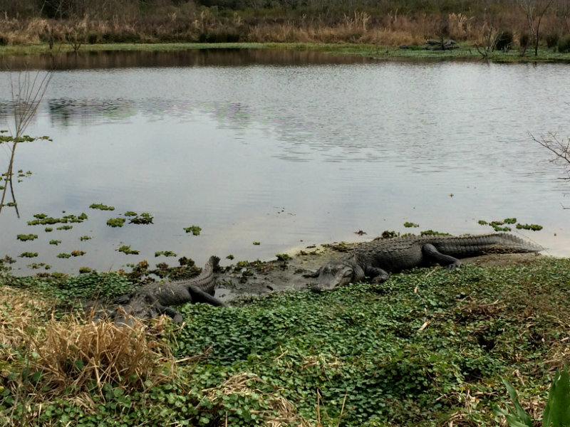 Gators sunbathing