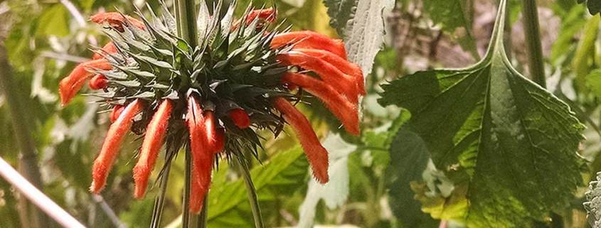 An orange-fringed Lion's Tail plant blooms along the arroyo, San Miguel de Allende