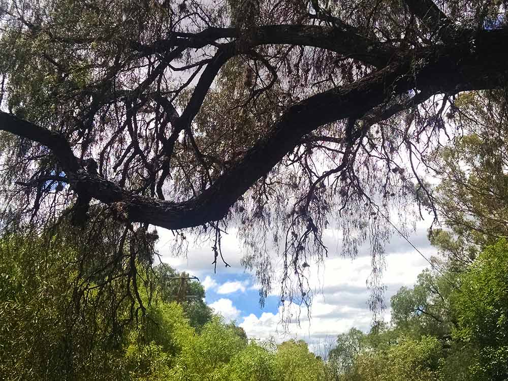 A think branch of a pepper tree leans over toward the arroyo.