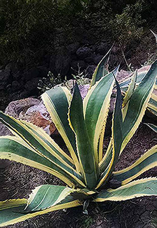 A green and yellow striped agave