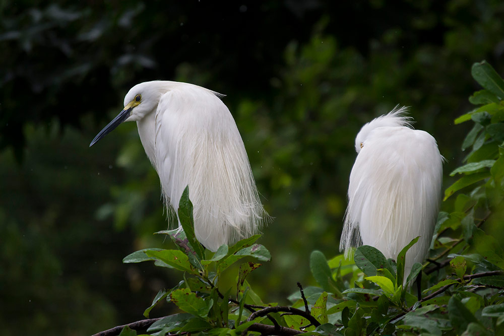 Snowy egrets are commonly found in Everglades National Park. They are easily spotted by their glowing white color.