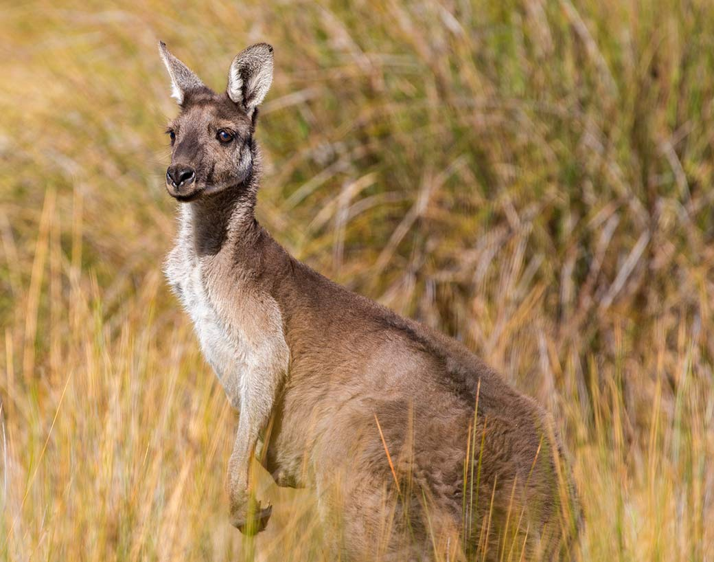 A kangaroo looks out from the golden grasses of Heirison Island, not far from Perth, Australia.