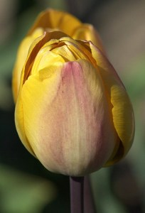 A butter yellow double tulip with a blush of pink centered on the petals, from Hortus bulborum, in the Netherlands, a sort of gene bank for the tulips in Holland.