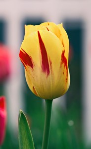 A yellow tulip, dramatically striped with red, a perfect example of one of the prettiest tulips in Holland