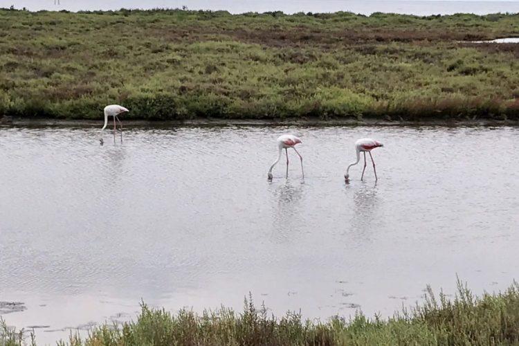 Flamingo's in de delta. van de Ebro