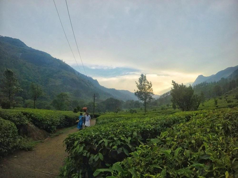 Munnar Tea Garden