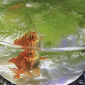 Pesce rosso nell'acquario
