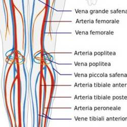 vene e arterie delle gambe