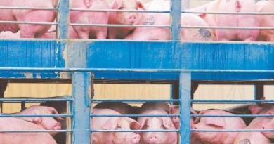 美國萊豬進口台灣,不少民眾跟店家都指名要吃不含萊克多巴胺(萊劑)的國產台灣豬肉,讓台灣豬的價格水漲船高。圖為運抵新北市肉品市場等待屠宰的台灣活體豬。(圖/中國時報黃世麒攝)