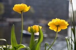 Blumen in Amsterdam