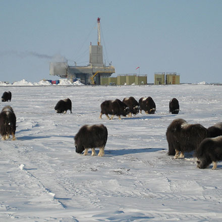 Musk ox in front of Rig 1