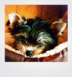 Card Yorkishire Terrier Puppy #20044-min (1)