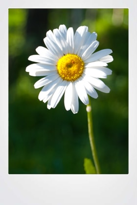 Prestekrage - Daisy in the forest 280x420-min