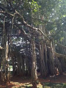 Der Big Banyan Tree.. ein Baum mit vielen Ästen, die ihn stützen