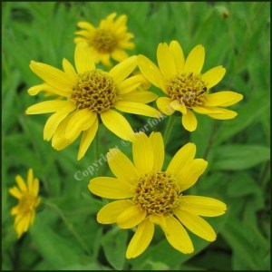 Arnica, North American - Arnica chamissonis Less