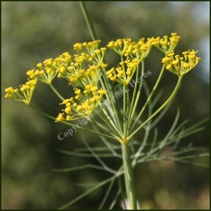 Dill - Anethum graveolens