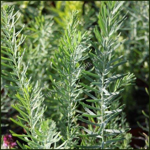 Flax, Perennial - Linum perenne