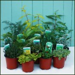 Beginner Herb Plant Collection