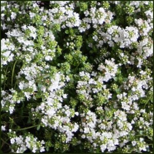 Thyme, White - Thymus serpyllum albus