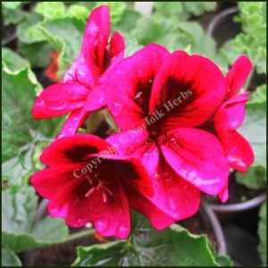 pelargonium ashby