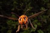 飛翔するスズメバチ