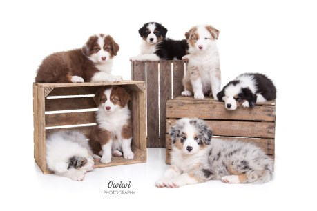 Australian Shepherd puppies Owiwi