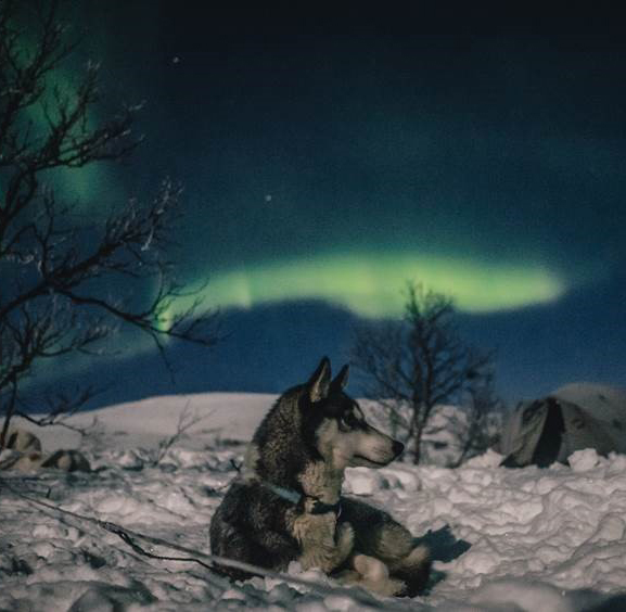 Husky dog northern lights