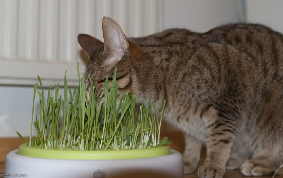 ocicat Ansa eating oat and barley shoots