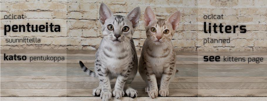 Northalla pentukoppa | Northalla kittens at the moment