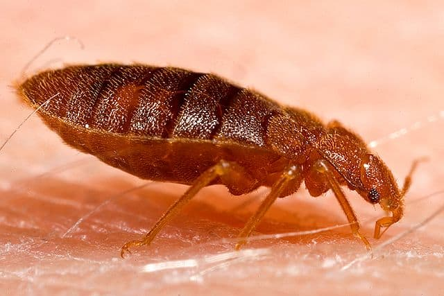 """A bed bug takes a """"blood meal"""" on a volunteer. Photo courtesy Public Health Image Library, CDC"""