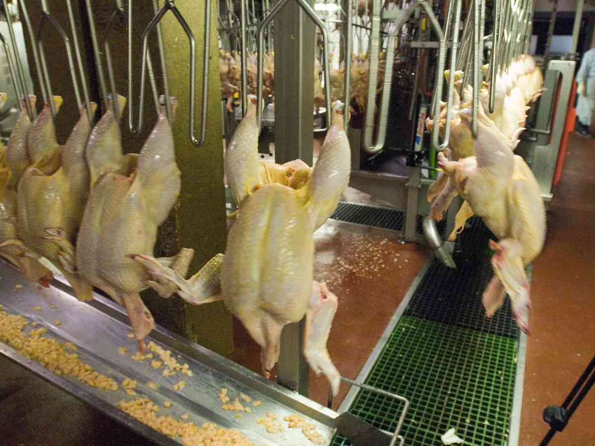 Raw chickens hang from wires at a poultry plant. Poultry companies are selling chicken for cheap amidst coroanvirus