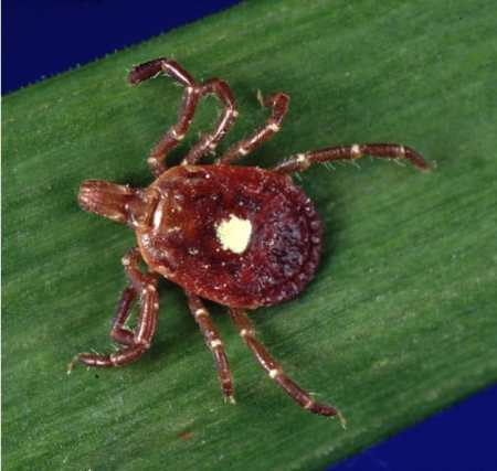 shows an adult brown tick wiht a bright white marking in the middle of its back, sitting on a leaf