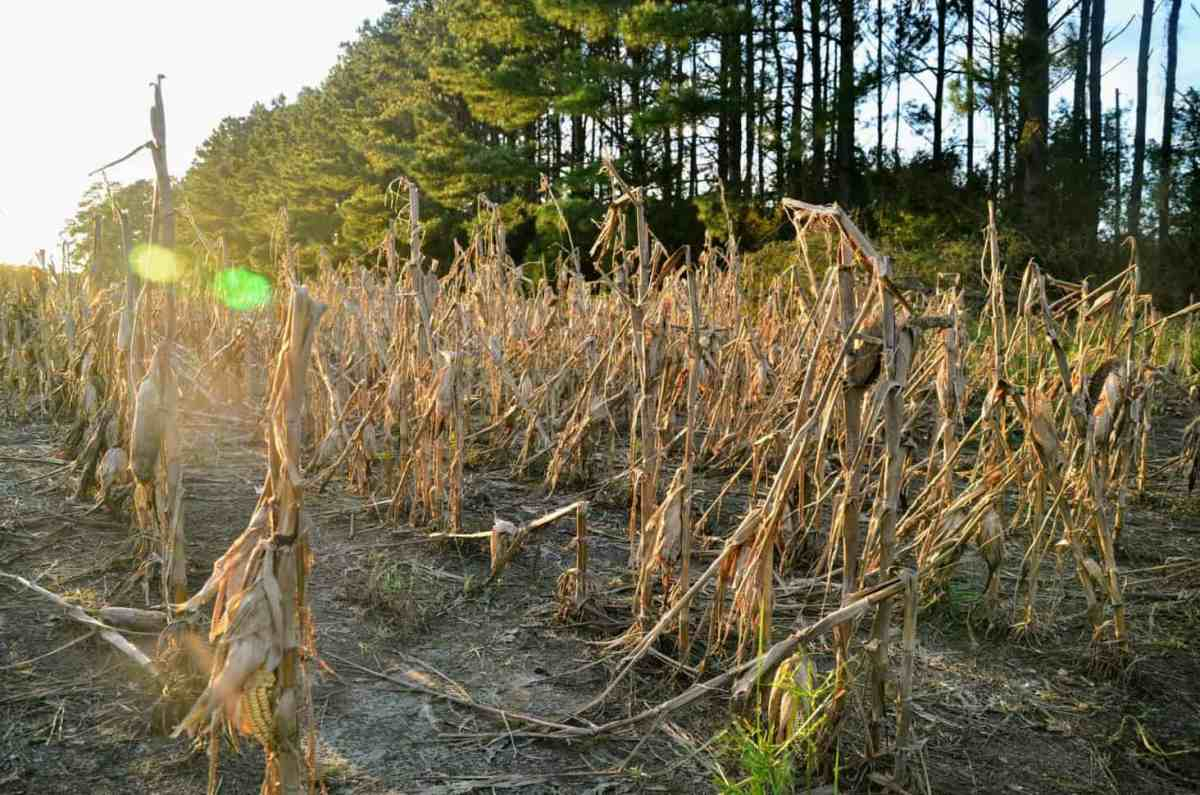 A field of corn that's leaning over with pines trees behind it.