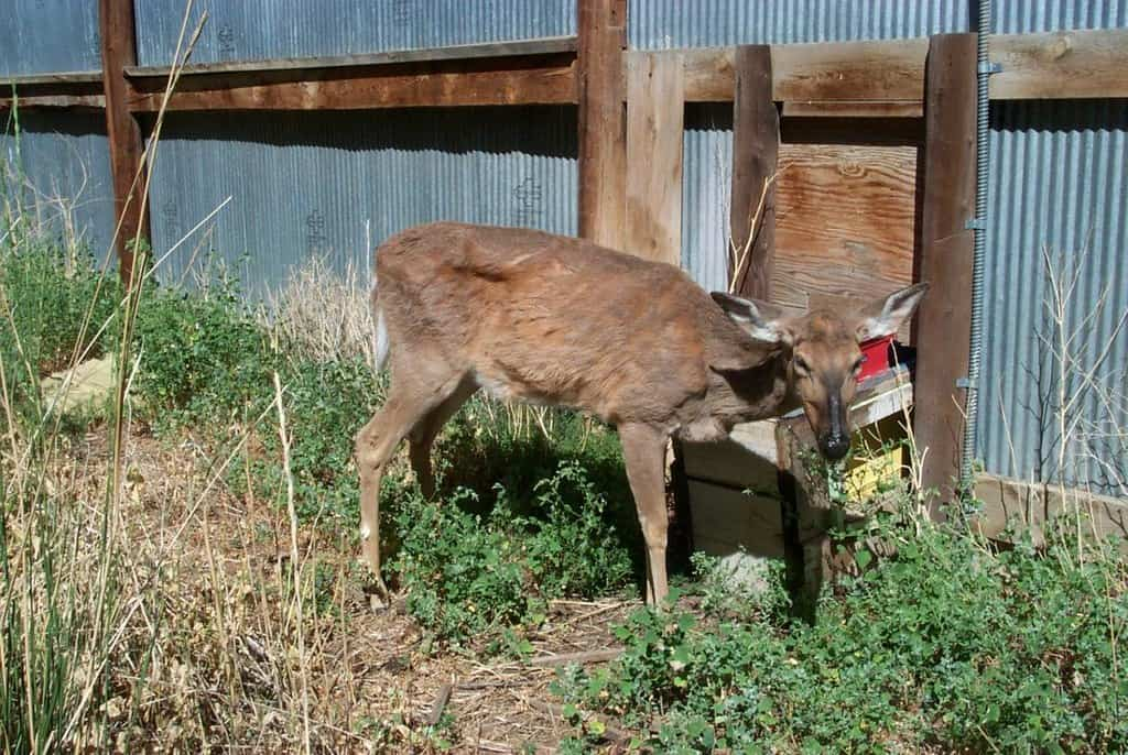 shows a deer with ribs showing through it's patchy fur, head hanging