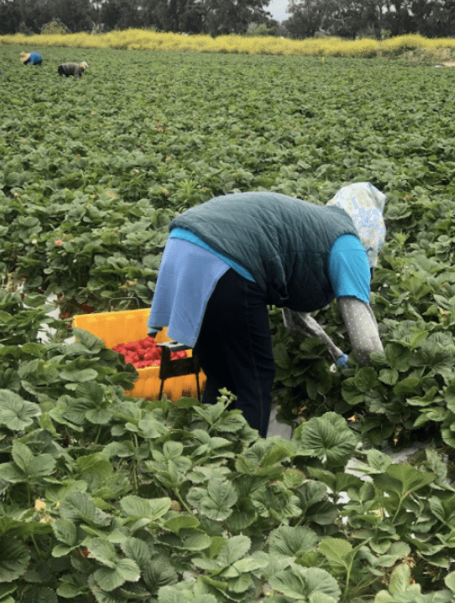 We see a woman with her back to the camera, bending over to pick strawberries.