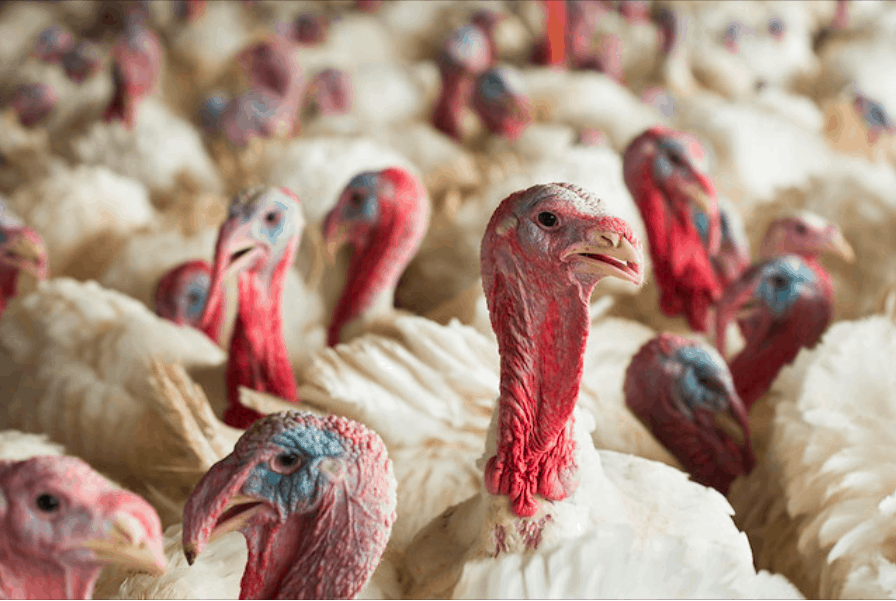 Shows a crowd of turkeys, with white feathers, red crops and blue surrounding their eyes.