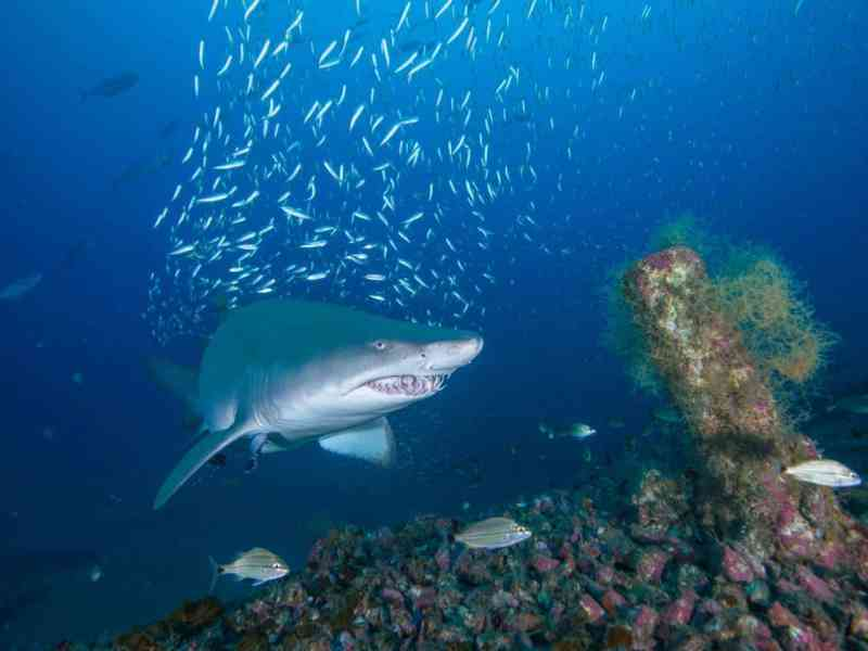 shows a ferocious looking shark near a shipwreck. As climate change causes the oceans to warm, more sharks are spending time near people.