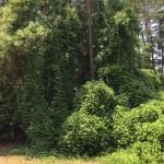 Kudzu in North Carolina