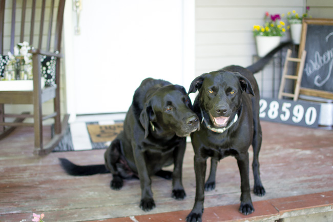 two black labs on summer front porch