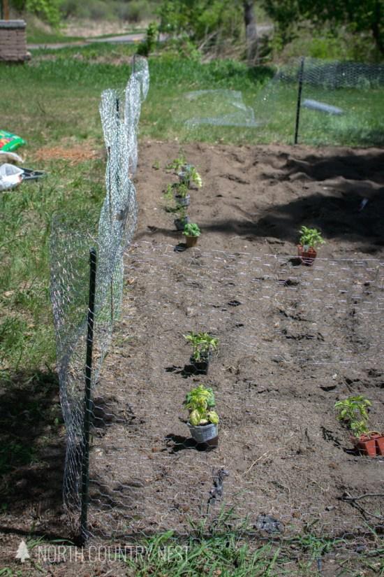 chicken wire fence around vegetable garden