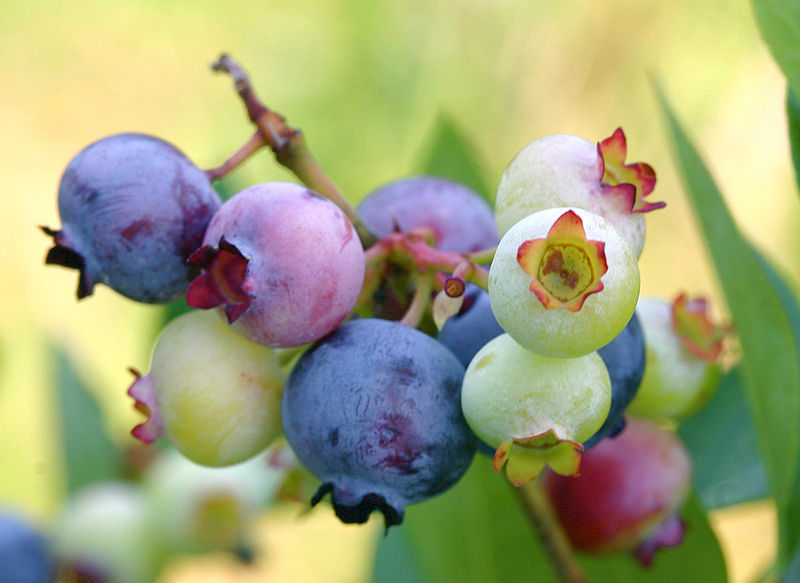 https://i1.wp.com/www.northcountrypublicradio.org/news/images/800px-PattsBlueberries.jpg