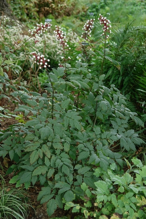 Actaea pachypoda 'Misty Blue' (White baneberry)