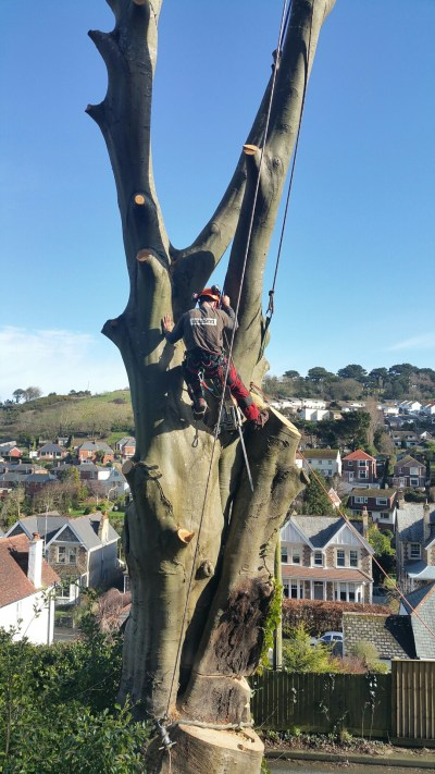 Arborist Sam felling sections of a large Beech tree in Ilfracombe.