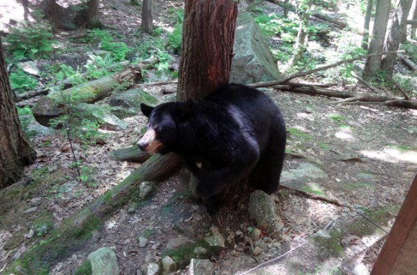 A Black Bear at Squam Lakes Science Center