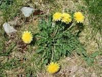bearizona-dandelions