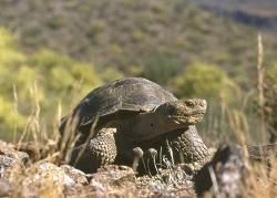 Desert Tortoise Photo by George Andrejko, Arizona Game and Fish Department.