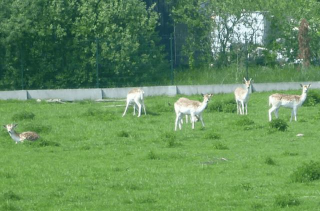 Charms of Kociewie Grazing Deer Greet me in Kokoszkowy