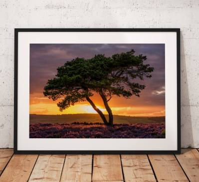 Nature Photography, North York Moors, Summer, Sunset. Egton, lone Tree,  Heather, England. Landscape Photo. Mounted print. Wall Art.